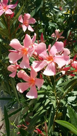 Fleurs du jardin 2014 (12)