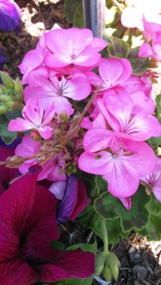 Fleurs du jardin 2014 (13)