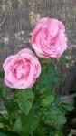 Fleurs du jardin 2014(3)