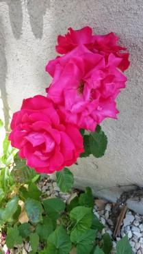 Fleurs du jardin 2014 (6)